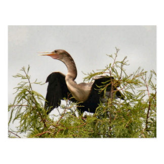 Carte postale d'oiseau d'Anhinga