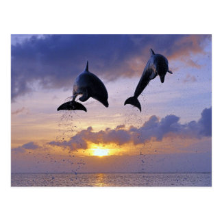 Carte Postale Dolphins jumping AT sunset