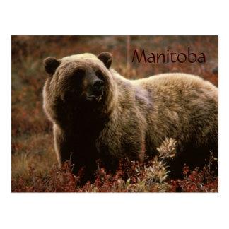 Carte postale d'ours gris de Manitoba