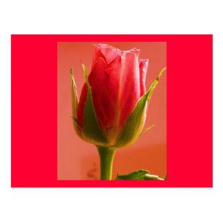 Carte postale du plaisir II de rose de rose -