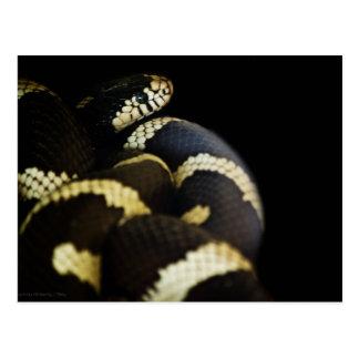 Carte postale du Roi serpent de la Californie