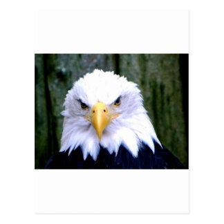 Carte Postale Eagle chauve