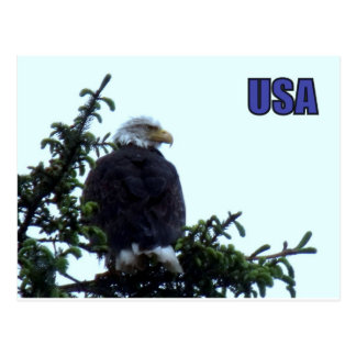 Carte Postale Eagle chauve américain