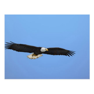 Carte Postale Eagle chauve en vol, Homer, Alaska, Haliaetus