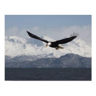 Carte Postale Eagle chauve en vol, leucocephalus de Haliaeetus,