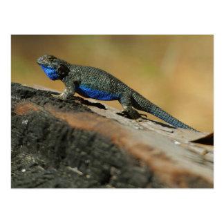 Carte Postale Échelles bleues de ventre de lézards