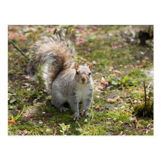 Carte Postale Écureuil de gris oriental