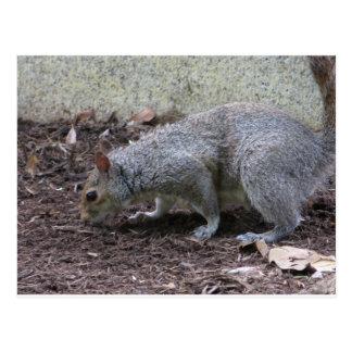 Carte Postale Écureuil de reniflement