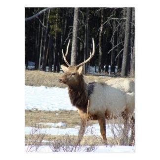 Carte Postale Élans de Banff