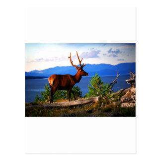 Carte Postale Élans par le lac Yellowstone