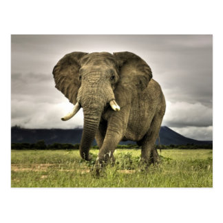 Carte Postale Éléphant africain