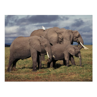 Carte Postale Éléphant africain de bébé avec la famille
