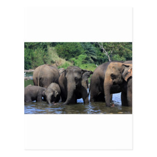Carte Postale Éléphants asiatiques en rivière Sri Lanka