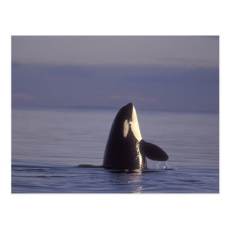 Carte Postale Épaulard d'orque de Spyhopping (orcinus d'orque)
