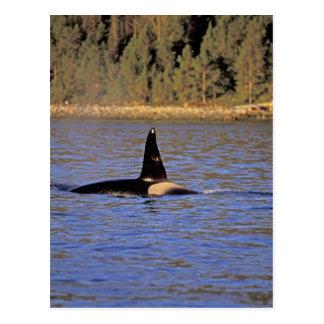 Carte Postale Épaulard d'orque ou