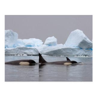 Carte Postale épaulards (orques), orque d'Orcinus, cosse