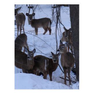 Carte Postale Famille de cerfs communs