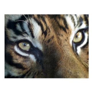 Carte Postale Fermez-vous d'un tigre de Sumatran de mâle adulte