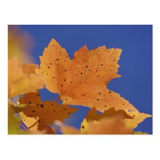 Carte Postale Feuille d'érable d'automne et ciel bleu, blancs