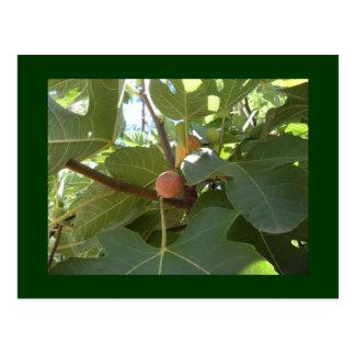 Carte Postale Figues fraîches