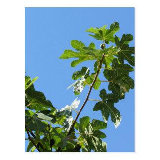 Carte Postale Figues sur des branches d'arbre