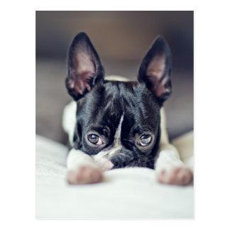 Carte Postale Fina Boston Terrier