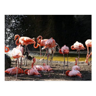 Carte Postale Flamants roses