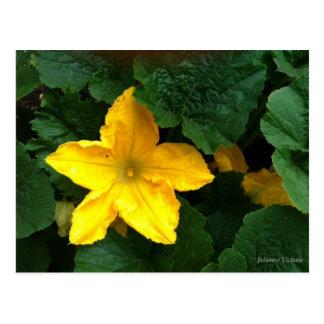Carte Postale Fleur de courge