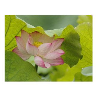 Carte Postale Fleur de Lotus, nucifera de Nelumbo, Chine