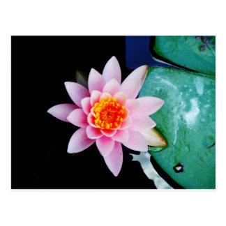 Carte Postale Fleur de nénuphar de lotus de roses indien et