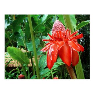 Carte Postale Fleur exotique de rose rouge des Caraïbe