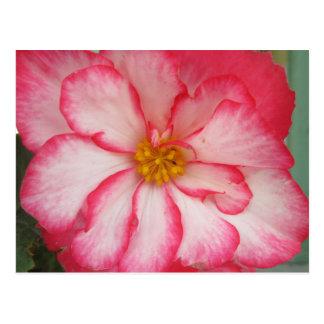 Carte Postale Fleur rouge de fleur blanche de bégonia