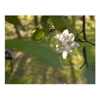 Carte Postale Fleurs d'Apple