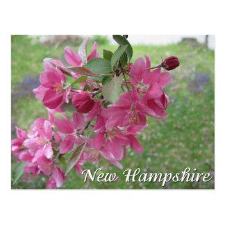 Carte Postale Fleurs d'arbre de pomme sauvage du New Hampshire
