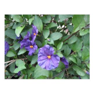 Carte postale--Fleurs de Bush de pomme de terre
