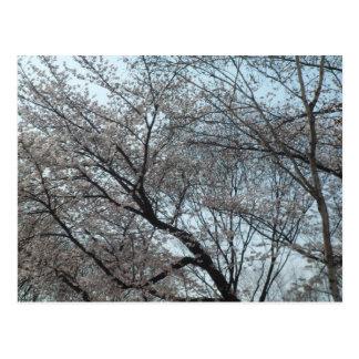 Carte Postale Fleurs de cerisier de floraison