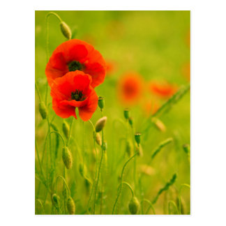 Carte postale - fleurs de coquelicots
