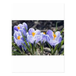 Carte Postale Fleurs de crocus