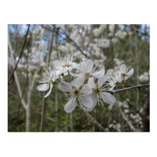 Carte Postale Fleurs de prune sauvage