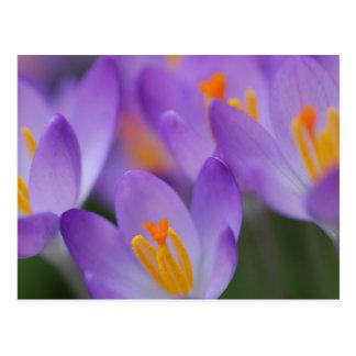 Carte Postale Fleurs douces fines de crocus