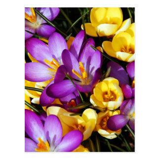 Carte Postale Fleurs pourpres et jaunes de crocus
