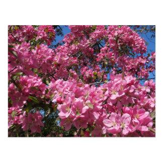 Carte Postale Fleurs roses d'arbre de pomme sauvage