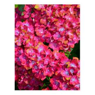 Carte Postale Fleurs roses d'hortensia