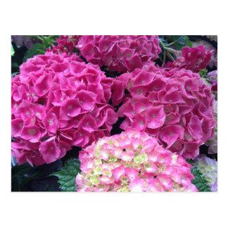 Carte Postale Fleurs roses lumineuses d'hortensia