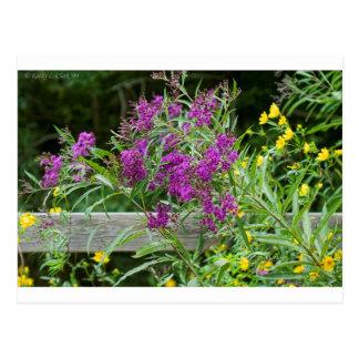 Carte Postale Fleurs sauvages pourpres d'herbe de Saint-Jacques