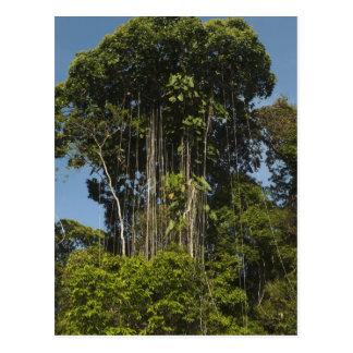 Carte Postale Forêt tropicale Guyane de bord de rivière de Rewa