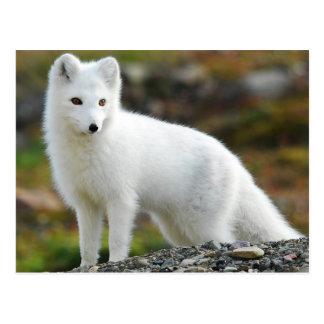 Carte Postale Fox arctique mignon