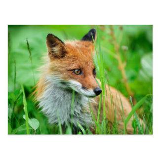 Carte Postale Fox rouge