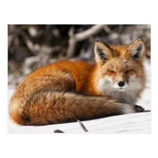 Carte Postale Fox rouge dans la neige