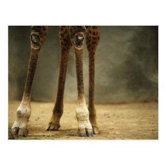 Carte Postale Girafe de masai, vue d'angle faible des jambes,